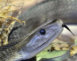 Vídeo: Cobra de 3 metros mata Cão pastor alemão e fica gravemente ferida