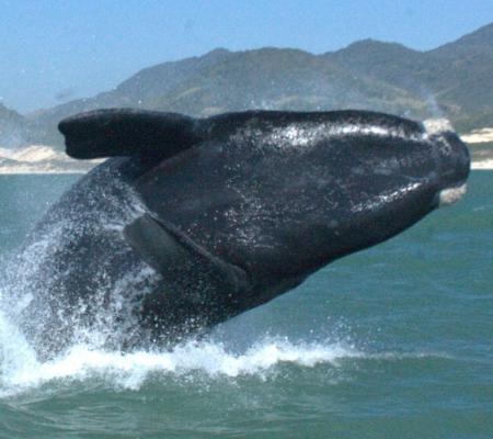 A rota da baleia franca