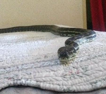 Cobra pesada cai do teto e vai parar em cama de casal australiano