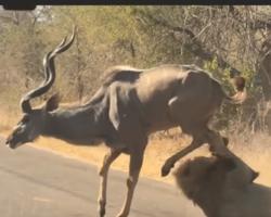 Vídeo: Leão ataca antílope e choca visitantes de Safári