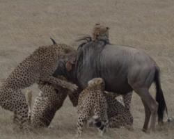 Veja caçada incrível de guepardos para capturar um gnu