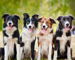 Conheça 5 raças de cachorros mais inteligentes do mundo