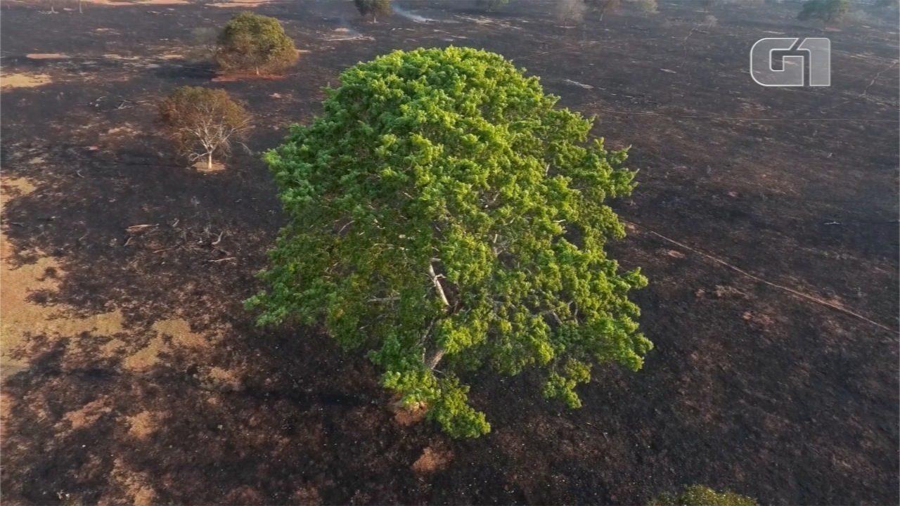 Imagens impressionantes mostram 'mar cinza' na vegetação do Cerrado de MS após queimadas