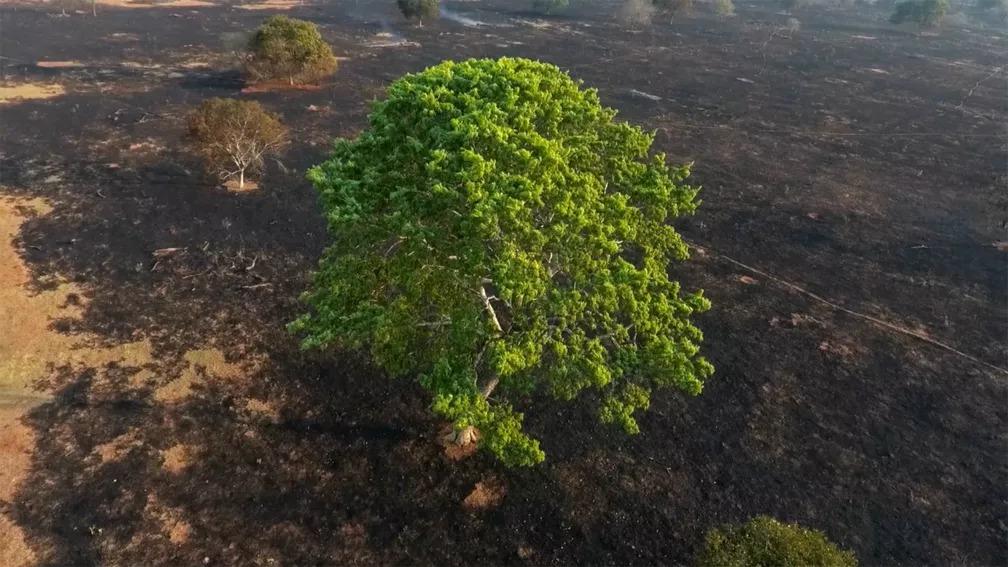 Verde da árvore contrasta com o cinza da paisagem do cerrado após área ter sido atingida por incêndio florestal no sábado (7) — Foto: Luiz Felipe Mendes/Arquivo Pessoal