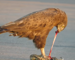 Vídeo impressionante mostra águia e cobra venenosa em luta mortal