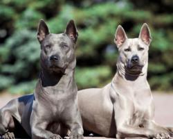 Conheça 9 raças de cachorros que você talvez nunca tenha visto