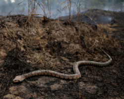 Cobras de mais de 10 metros são encontradas após incêndio e impressionam web
