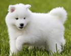 Conheça as 10 raças de cachorro mais cara do mundo