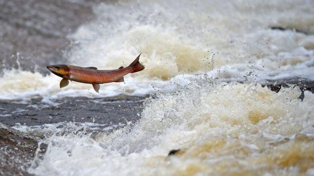 salmão em rio britânico