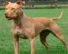 Veja 8 raças de cachorros potencialmente perigosos para se criar