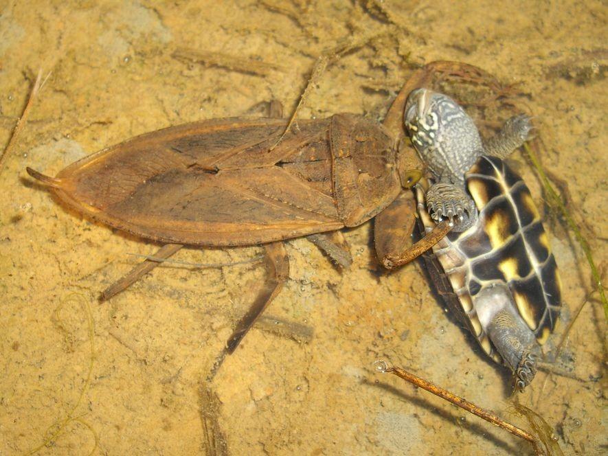 Barata d'água gigante devora tartarugas e até cobras  - Imagem 1