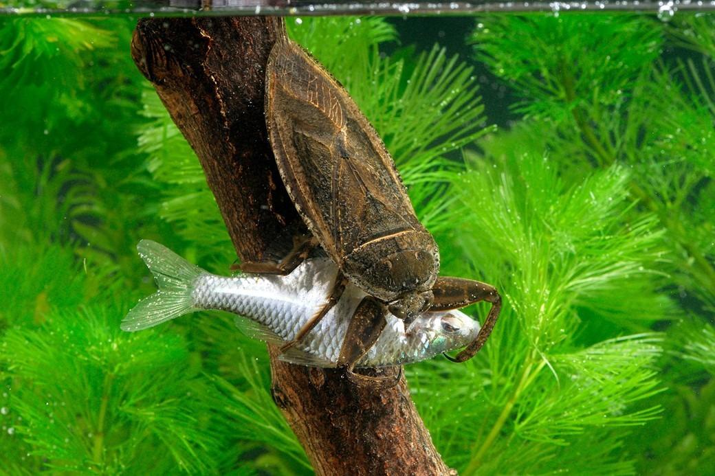 Barata d'água gigante devora tartarugas e até cobras  - Imagem 2