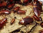 Veja dicas de como evitar a presença de baratas em sua residência