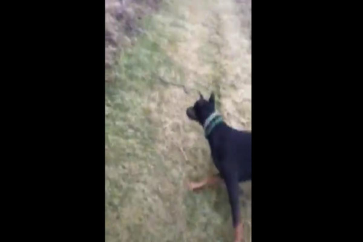 Vídeo mostra cachorro doberman matando e lançando cobra para longe