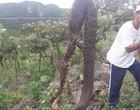 Cascavel de 2 metros foi encontrada em uma vinícola no RS; Veja foto