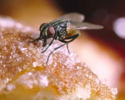 Chuvas: moscas são os principais transmissores de viroses