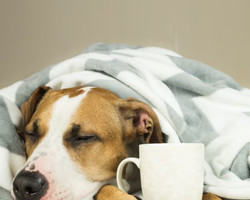 Confira sete sinais de que seu cão pode estar com febre