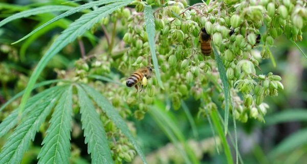 Plantações de maconha podem salvar a vida na terra - Imagem 1