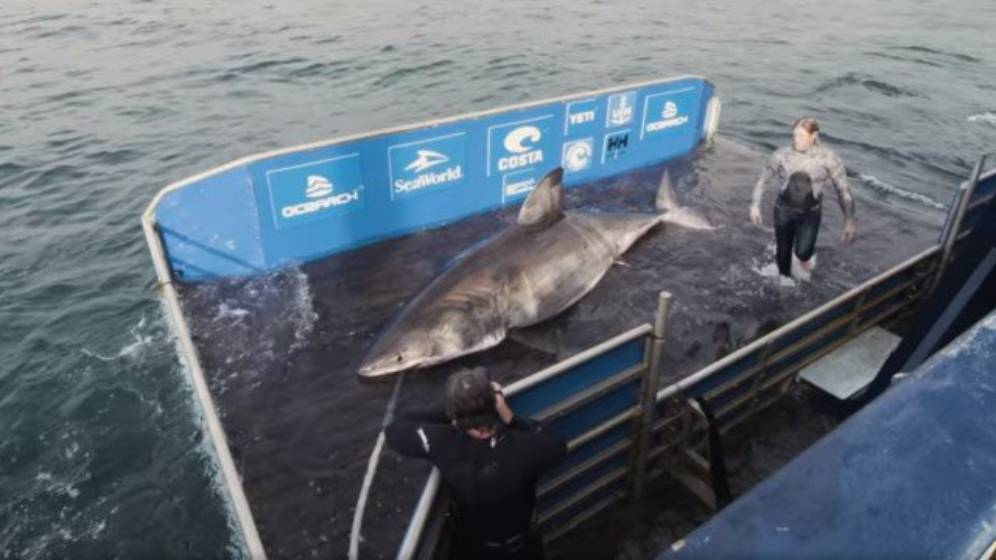Tubarão foi devolvido ao mar em seguida (Reprodução)