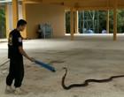 Cobra-rei de 4 metros tenta atacar capturadores durante resgate; vídeo