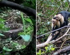 Macacos se juntam e atacam jiboia para salvar membro do bando; fotos