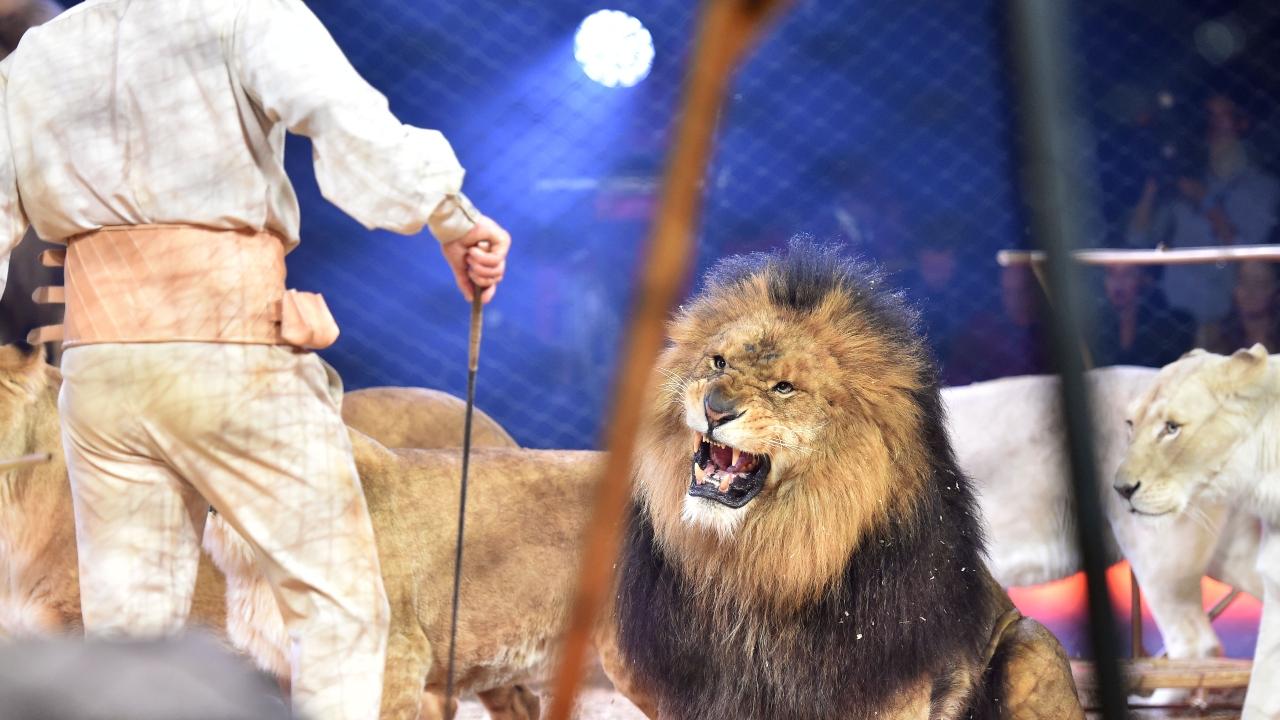 Imagem meramente ilustrativa de leões em jaula (Foto: Getty Images)
