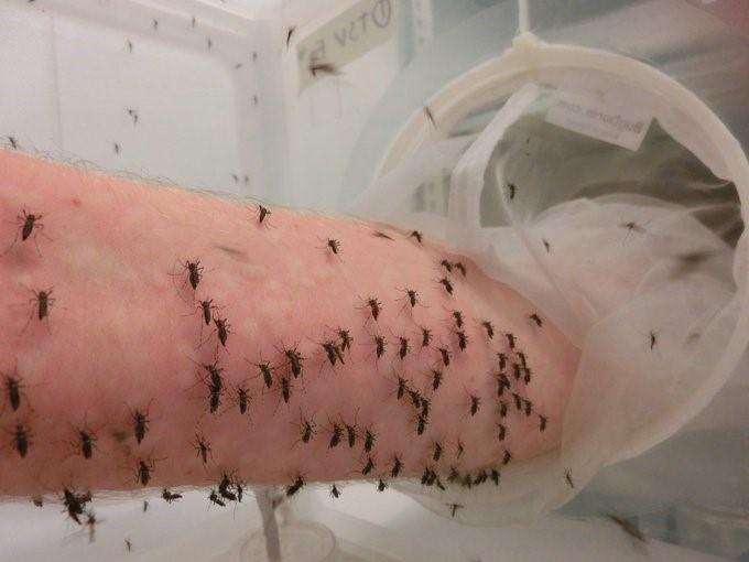 Cientista usa próprio braço para alimentar milhares de mosquitos