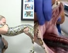 Píton gigante engole cobertor por engano enquanto comia coelho; fotos