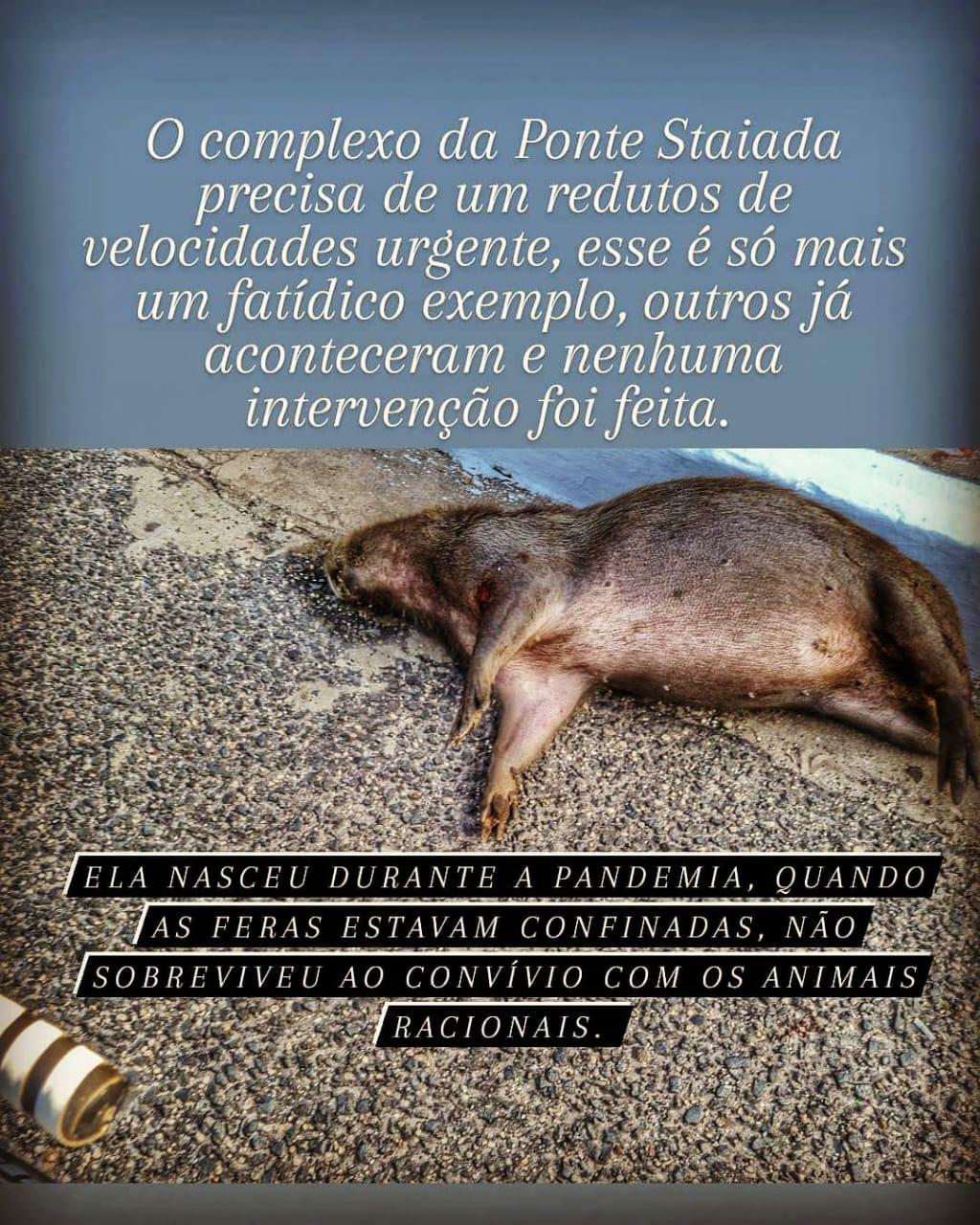 Ouvinte fez o registro da morte do animal silvestre em um canteiro da Avenida Raul Lopes nas redes sociais