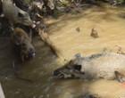 Vídeo mostra luta desesperada de porco para se salvar de crocodilo