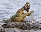 Ave tem dificuldades para voar e acaba sendo devorada por crocodilo