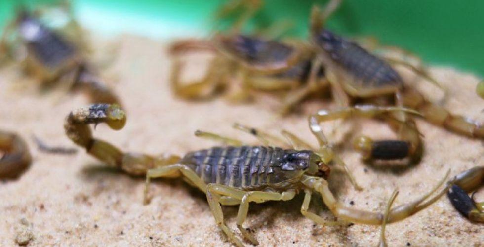 Jovem larga a faculdade para vender veneno de escorpião - Imagem 1