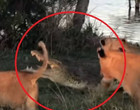 Impressionante! Crocodilo luta contra 5 leões após ser encurralado