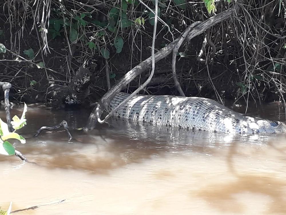 Suspeita é que animal teria engolido uma capivara, no rio Sucuriu, em Paraíso das Águas (MS). — Foto: Fernando Brito/Foto
