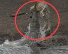 Vídeo mostra crocodilo devorando guepardo em ataque brutal; assista!