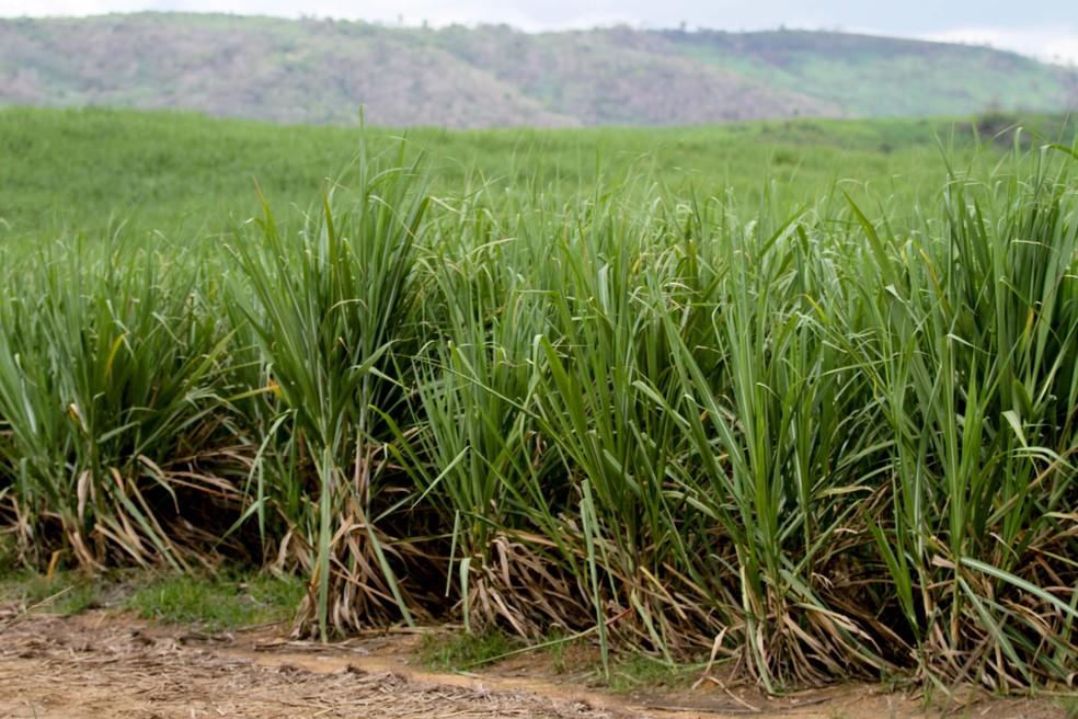 Plantação de cana-de-açúcar em Pernambuco (Foto: G1)
