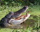 Casal flagra cobra tentando evitar ser devorada por jacaré; fotos