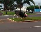 Vídeo: Touro solto em avenida perfura pulmão de homem e ataca PMs