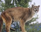 Menina de 6 anos sobrevive ao ataque de leão da montanha