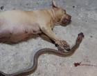 Cadela grávida morre ao defender seus donos de cobra venenosa