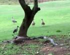 Píton é flagrada dominando veado e tentando comê-lo; Vídeo