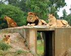 Jovem de 17 anos morre ao ser atacado por leão em safári