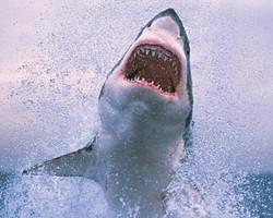 Vídeo registra tubarão devorando presa com rapidez incrível; Assista