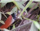 Vídeo flagra falsa-coral devorando outra cobra na Grande São Paulo