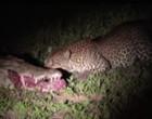 Impressionante! leopardo rouba comida da boca de crocodilo; vídeo