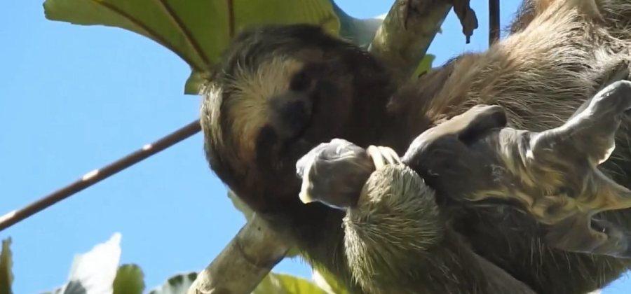 Vídeo de preguiça dando à luz encanta a internet; assista - Imagem 1