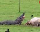 Vídeo mostra o que acontece quando um crocodilo encontra uma vaca