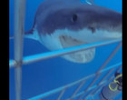Tubarão tenta atacar mergulhadores em gaiola; Veja o vídeo
