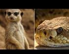 Luta entra cobra venenosa e mangusto se torna viral no twitter; Vídeo