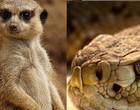 Vídeo captura luta entre mangusto e cobra venenosa